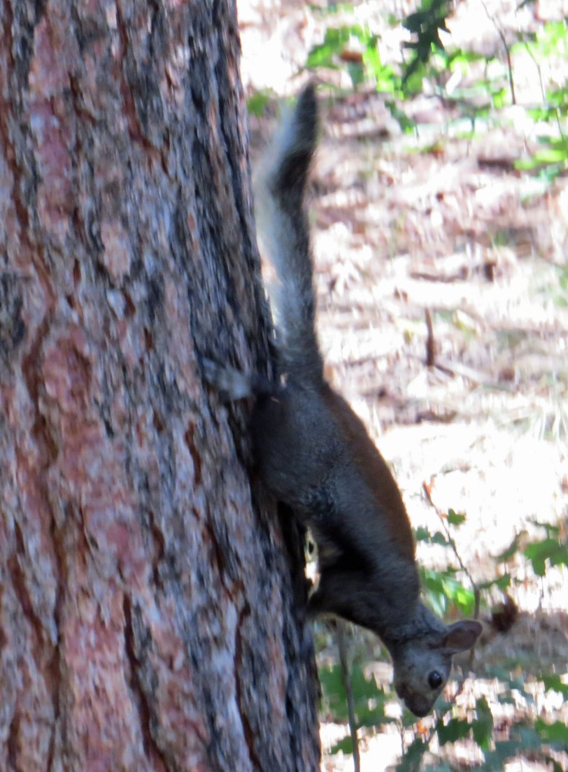 Sulphur-Abert's-squirrel-8-13-20